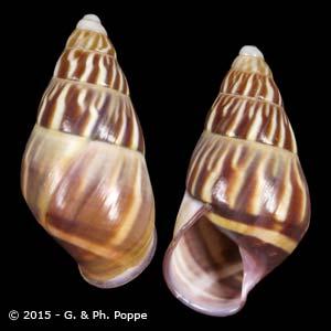 Amphidromus quadrasi ABORLAN