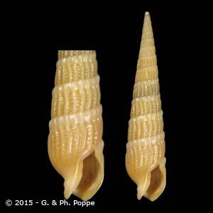 Myurella flavofasciata
