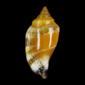 Canarium microurceus SPECIAL COLOR