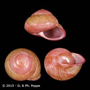 Anixa carbonaria heermanni ERYTHRISM PERIO