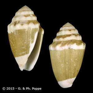 Dyraspis dorreensis