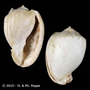 Cassis fimbriata FOSSIL