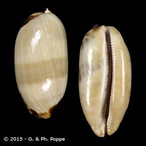 Chelycypraea testudinaria BULLA STAGE