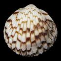 Tucetona pectunculus GIANT