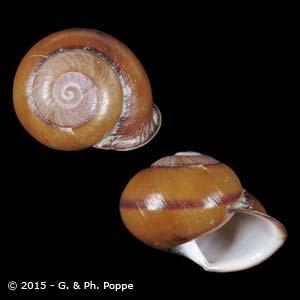 Calocochlia hidalgoi PERIO