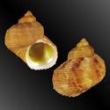 To Conchology (Turbo chrysostomus ORANGE)