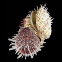 Spondylus asperrimus CLUSTER