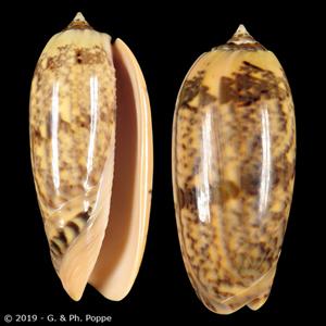Oliva miniacea flammeacolor