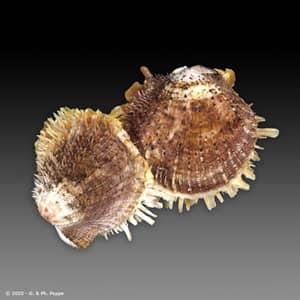 Spondylus multisetosus CLUSTER