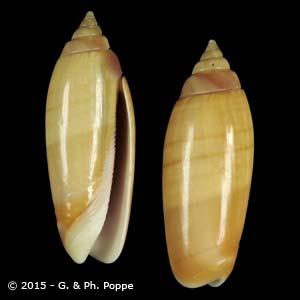 Oliva multiplicata f. labuanensis