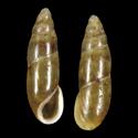 Ferussacia lanzarotensis