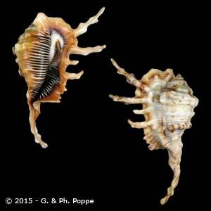 Lambis scorpius scorpius FREAK FAKE