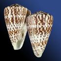 Kalloconus pulcher prometheus