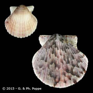 Argopecten ventricosus SPECIAL COLOR