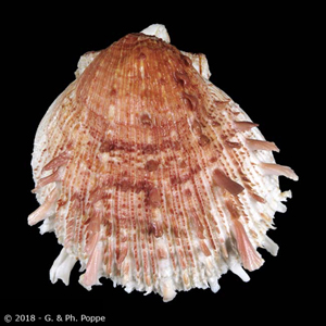 Spondylus erinaceus BROWN ON WHITE