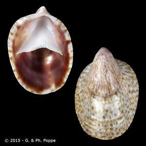 Crepidula porcellana f. immersa