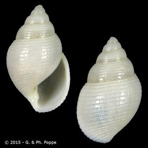 Leucotina sagamiensis