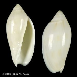 Amoria maculata f. volva