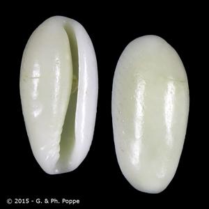 Hyalina lucida