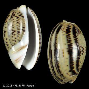 Oliva bulbosa f. fabagina