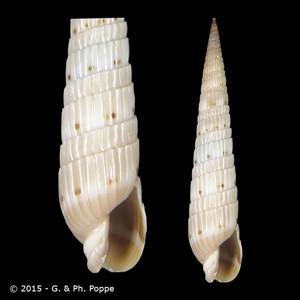 Duplicaria duplicata f. lamarckii
