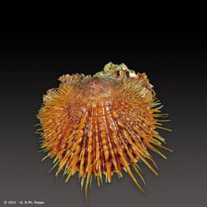 Spondylus visayensis ORANGE