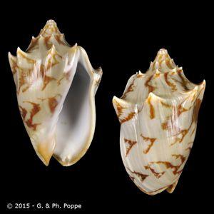 Cymbiola vespertilio CAUBIAN