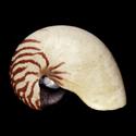 Nautilus pompilius PERIO