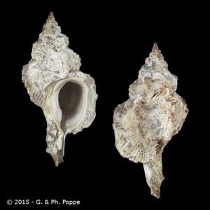 Dermomurex bobyini