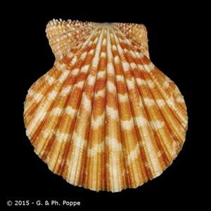 Gloripallium pallium FAKE
