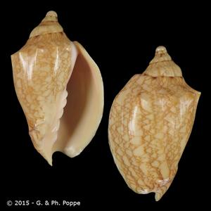 Odontocymbiola saotomensis