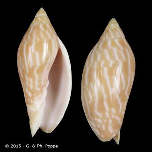 Amoria lineola
