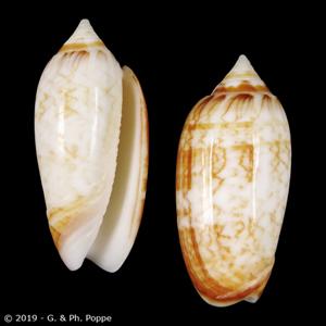 Oliva bifasciata f. pattersoni