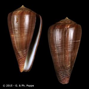 Calibanus concolor