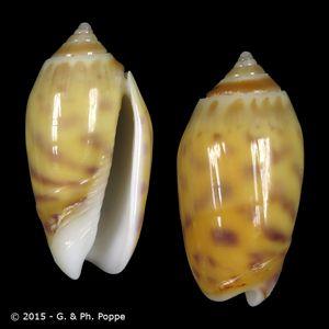 Oliva buelowi buelowi f. stoneorum