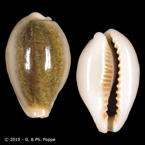 Erronea ovum f. chrysostoma SOLOMONS