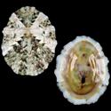 Collisella variabilis