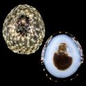 Collisella limatula morchii