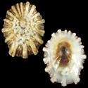 Acmaea acutapex