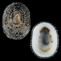Acmaea cubensis