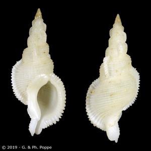 Phyllocoma convoluta FAKE