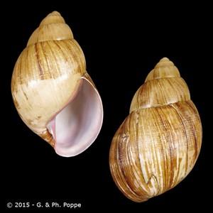 Burtoa nilotica nilotica f. emini