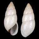 Limicolaria karagwensis ALBINISTIC