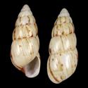 Limicolaria karagwensis SPECIAL COLOR