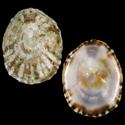 Lottia subrugosa