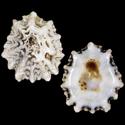 Collisellina paropsis