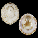 Collisella septiformis louisiae