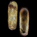 Acmaea depicta
