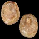 Pilidium fulvum