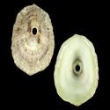 To Conchology (Fissurella rosea)